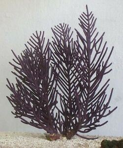 SOFT CORAL - PURPLE FRILLY - LIVE CORAL SAFE
