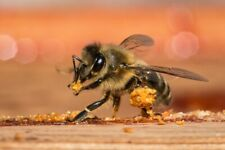 """honey bee lure vials /""""GET BEES for FREE USING THIS/"""" 5 pack of 1.5 ml"""