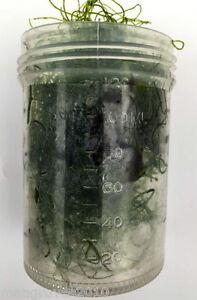 Chaeto-algae-chaetomorpha-ideal-for-refugiums