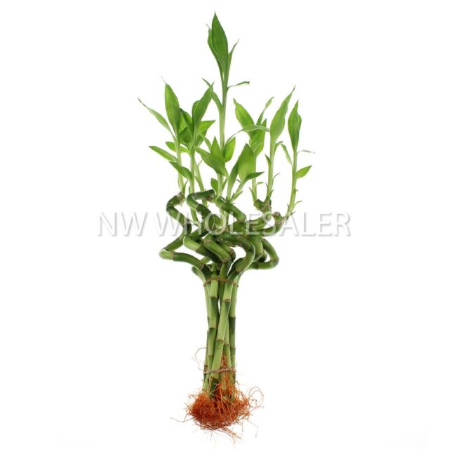 """NW Wholesaler - 6"""" Spiral Live Lucky Bamboo Bundle of 10 Stalks"""
