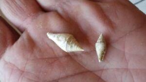 Columbella Sallomacensis Fossil Miocene Serravalien Rocks, Fossils & Minerals