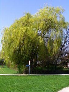 Salix alba Tristis, gelbe Trauerweide, 160-170cm, Hängeweide