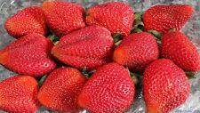 200 Giant Strawberry Seeds RARE Fragaria Ananassa Huge Fruit Organic Heirloom UK