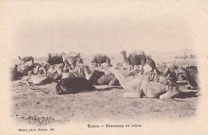Algerie-cpa-BISKRA-Chameaux-en-repos