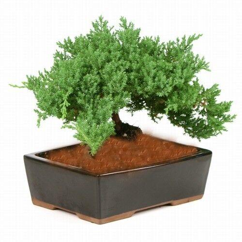 Bonsai Tree Japanese Dwarf Juniper    GREAT GIFT # 1