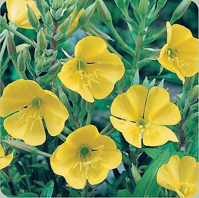 Evening Primrose Fragrant Flower 100ct Yellow Primrose Seeds Heirloom Flower