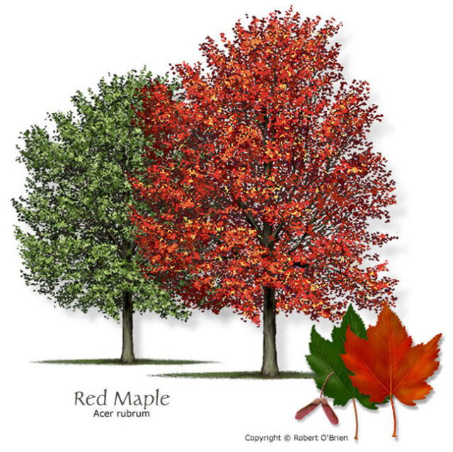 Red Maple Tree Acer Rubrum 7 Seeds For Sale Online Ebay