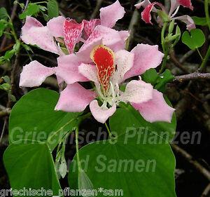 Bauhinia-Orchideenbaum-5-Samen-SEHR-SELTEN-einmalige-Blueten-MEHRJAHRIG