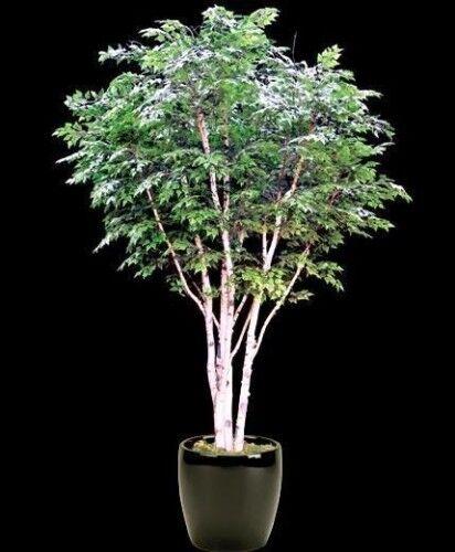150 semillas ABEDUL de las CANOAS Betula papyrifera