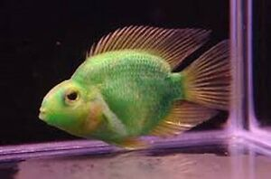 X6 green jellybean parrot cichlid 1 free total 6 for Parrot fish freshwater