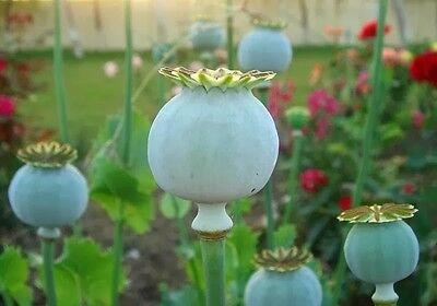 AMAPOLA COGOLLO GIGANTE giant poppy  50 Semillas Seeds