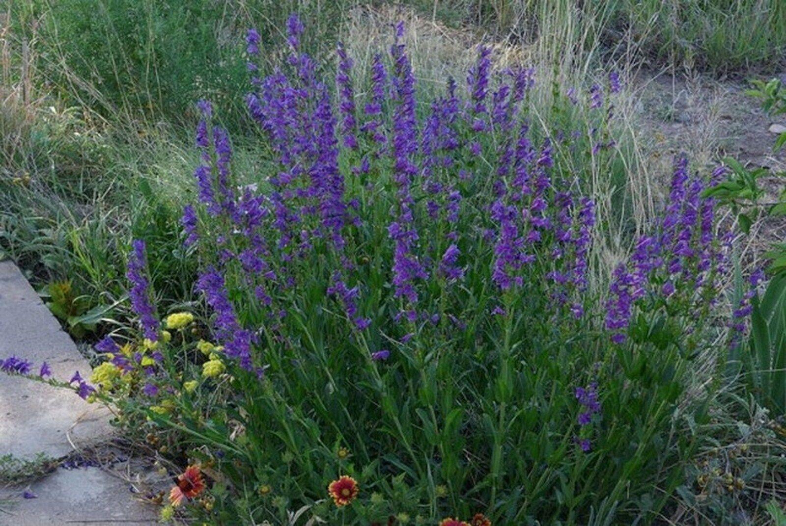 Penstemon- Rocky Mountain Strictus- 100 seeds