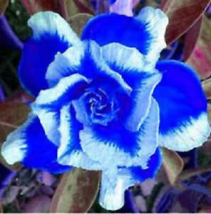 Adenium Desert Rose Bare Roots Perennial Blue White Petal Flower 2-layer Bicolor