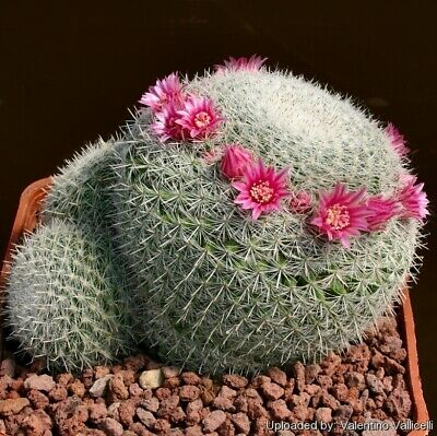 Mammillaria elongata echinaria New Mini Freely Offsetting Pin Cushion Cactus