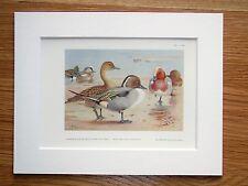 Archibald Thorburn - Wigeon & Pintail Duck - Mounted Vintage 1920 Bird Print 108