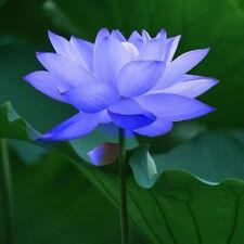 Bowl lotus/water lily flower /Bonsai Lotus / 5 Fresh seeds/Sapphire Lotus