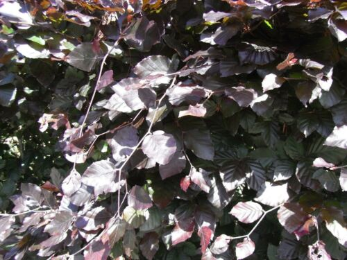 25 Copper Beech 3-4ft Purple Hedging Trees.Stunning all Year Colour 90-120cm