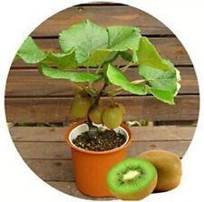 USA-100pcs KIWI Seeds Delicious Healthy FRUIT Actinidia Vine Seeds Easy to Plant
