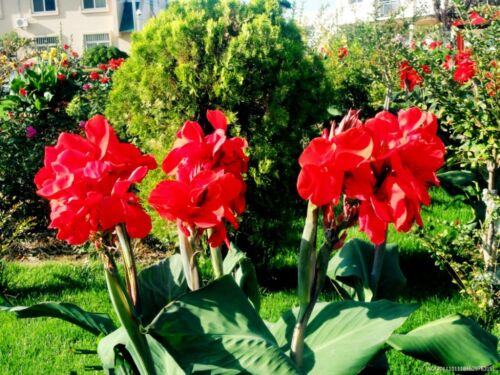 25 RED CANNA INDICA LILY SEEDS INDIAN SHOT CANNA FLOWER BRILLIANT VIABLE RARE