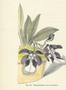 Fiori In Inglese.Orchidea Trichocentrum Stampa Antica 1896 Con Fiori Incisione