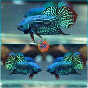 Live Betta Fish Male FIGHTING Mahachai Wild Betta #B832