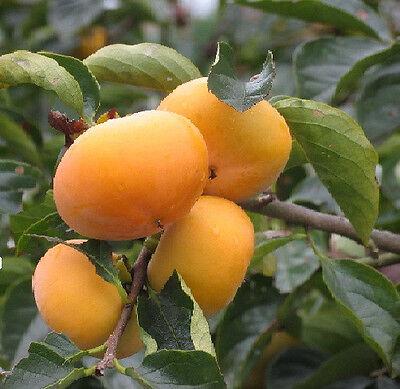 Vorsichtig ... Wohlriechende Früchte : Winterharter Kaki-baum Diospyros Kaki : Jungpflanze