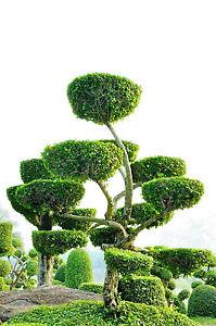 formgeh lz lebensbaum thuja occidentalis yellow ribbon. Black Bedroom Furniture Sets. Home Design Ideas