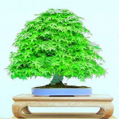 Japanese Maple Seeds Mini Bonsai Maple Tree Plants Green Garden Small Maple 10pc