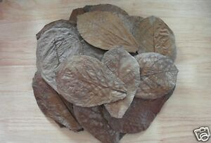 """1000 Pcs 6""""-7"""" Catappa Ketapang Indian Almond Leaves For Arowana Big Tank Cheapest Price From Our Site Pet Supplies"""
