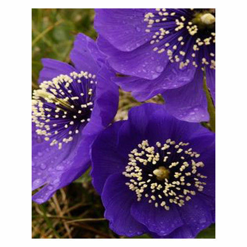 AA 200PCS Classical Purple Flower Petals Poppy Seeds Potted Garden Courtyard