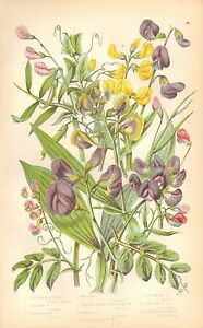 1860 Ca ANTIQUE BOTANICAL PRINTANNE PRATT VETCH VARIETIES EVERLASTING PEA - <span itemprop=availableAtOrFrom>Holmfirth, United Kingdom</span> - Returns accepted Most purchases from business sellers are protected by the Consumer Contract Regulations 2013 which give you the right to cancel the purchase within 14 days after the da - Holmfirth, United Kingdom