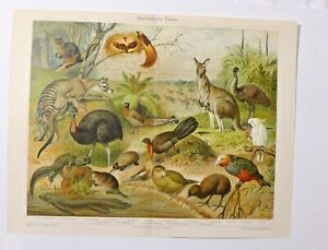 Australische-Fauna-Chromolithografie-19-Jhdt