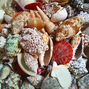Premium Shells Seashells, Beach Shells, Table decoration Shells, Aquarium Shells