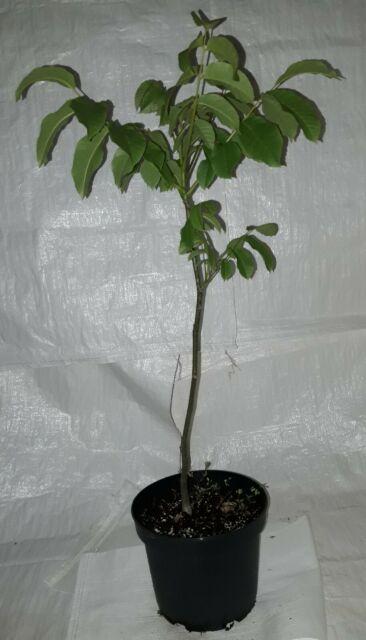 English Walnut, Juglans regia Tree in a 5 Litre Rigid Pot