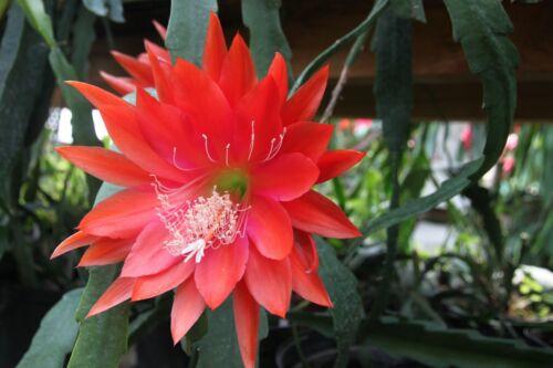"Epiphyllum Blattkakteen Epicactus /""Golden Prince/"" Jungpflanzen"