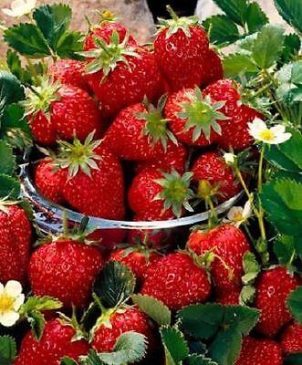 New Pack 3 Strawberry ''Elsanta'' W.C.Prins Vegetable Garden Runners / Roots