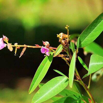 15 seeds 15 Samen die TANZENDE Pflanze,Codariocalyx motorius Desmodium gyrans