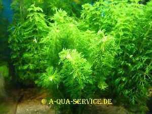 1-Bund-Bluetenstielloser-Sumpffreund-Limnophila-sessiliflora