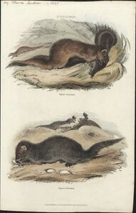 1835 Landseer Antique Animal Print of Mongoose from India & Egypt
