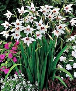 1 100 White Peacock Orchid Bulbscorms Perennial Garden Summer