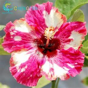 seltene hibiskus rosa sinensis pflanze mit gro e bl ten. Black Bedroom Furniture Sets. Home Design Ideas