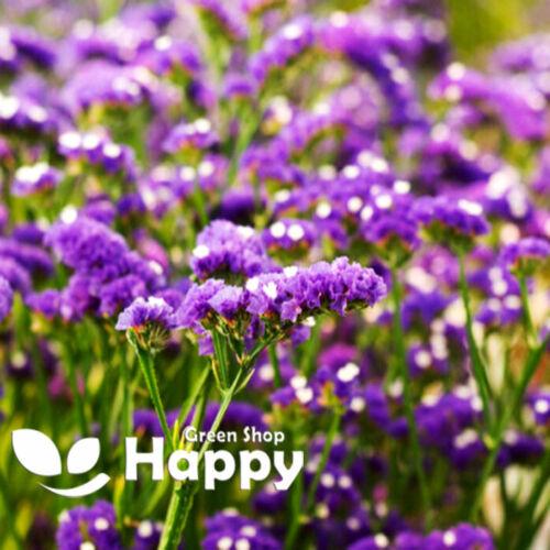 Propri LILLA 100 semi-Sea Lavender-LIMONIUM SINUATUM-Dry Fiore