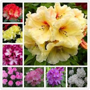 Fresh-rhododendron-seeds-garden-plant-bonsai-rare-flower-seeds-200pcs-bag