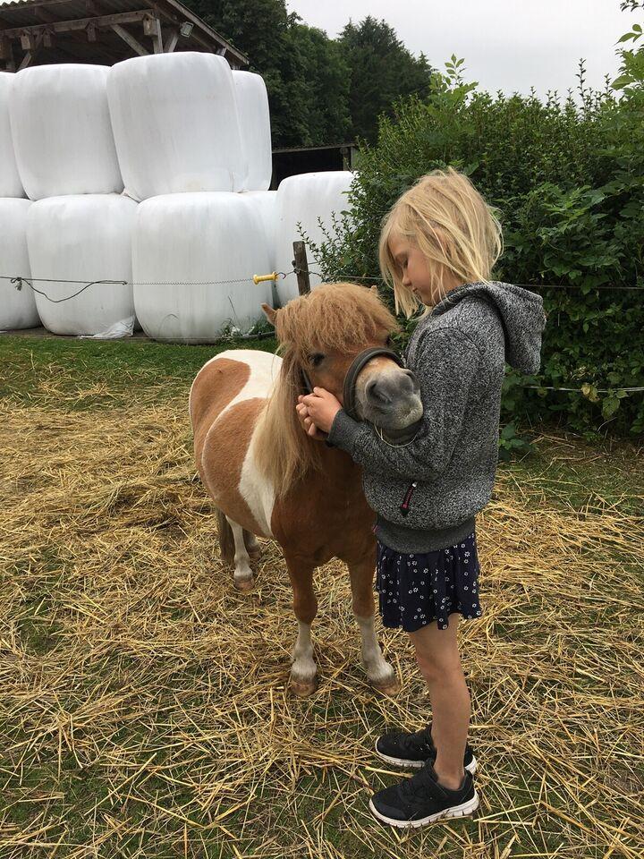 Shetlænder, vallak, 3 år