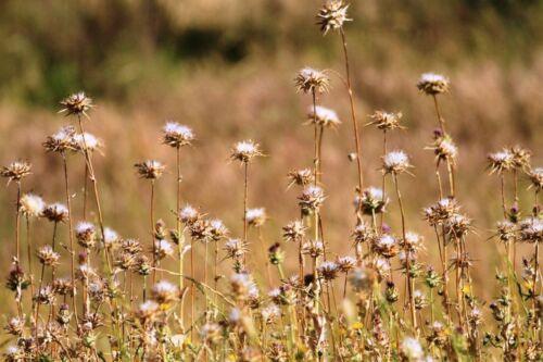 Milk Thistle 35 Seeds Wildflower Silybum Marianum Holy Thistle