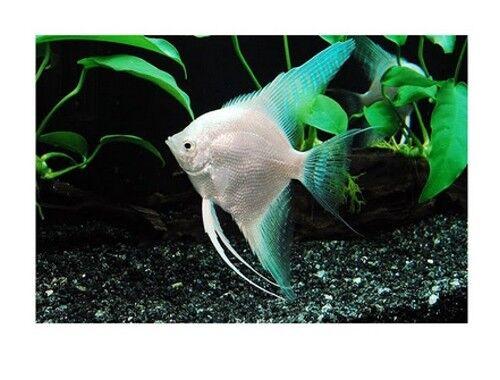 10 (ten) x Diamond Platinum Angelfish (Pterophyllum scalare, Cichlid)