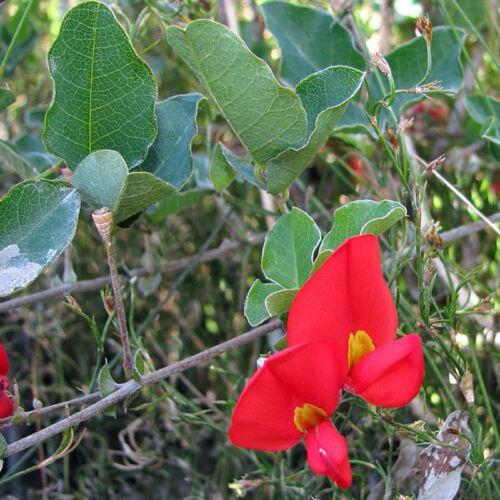30 Fresh Seeds Kennedia prostrata Running Postman