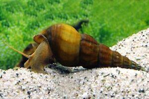 10 (dix) X Brotia Herculea (aquatique Escargot)-afficher Le Titre D'origine