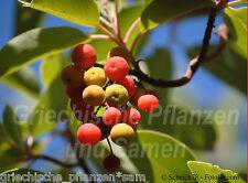 Erdbeerbaum essbare Frutti Arbutus unedo 10 Semi Fragole Erdbeere