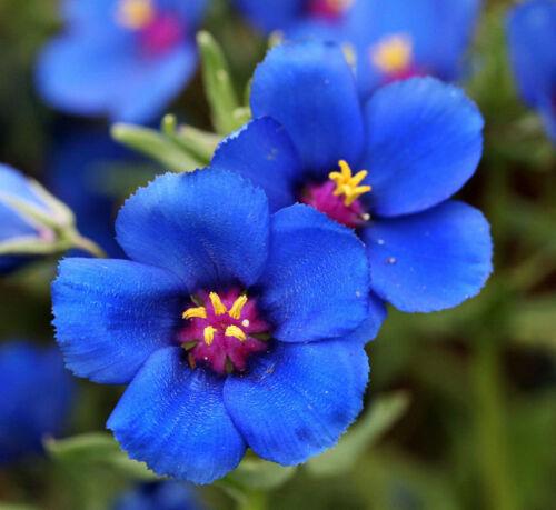 Seeds Anagallis Blue Flower Balcony Annual Outdoor Garden Cut Organic Ukraine